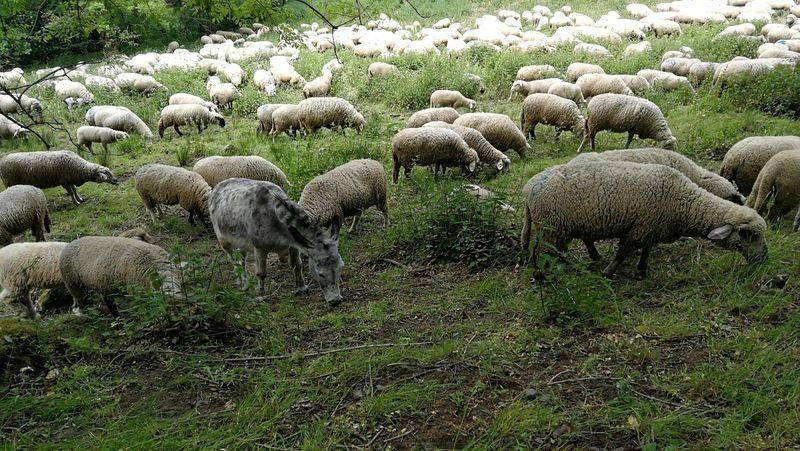 Symbolfoto Schafe und Esel